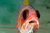 Squirrelfish <i>(Holocentrus ascensionis)<i/>