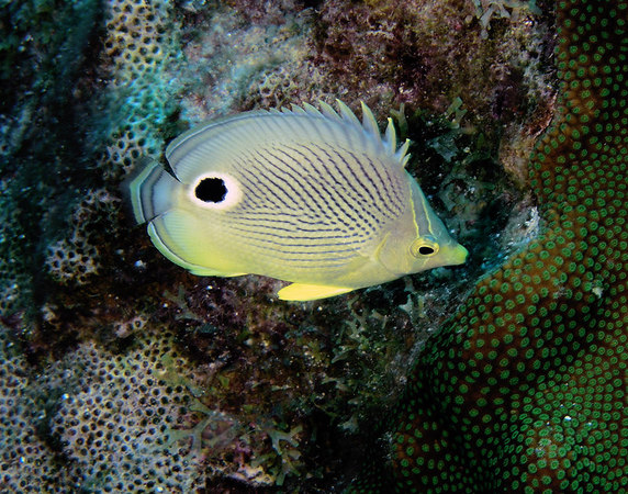 Foureye Butterflyfish<br /> Chaetodon capistratus