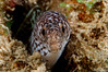 Spotted Moray -with toothache?  <i>(Gymnothorax moringa)<i/>