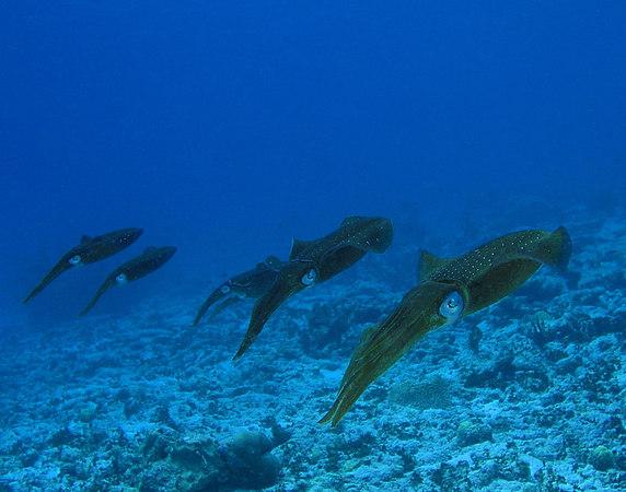 Caribbean Reef Squid<br /> Sepioteuthis sepioidea
