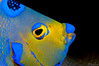Queen Angelfish <i>(Holacanthus ciliaris)<i/>