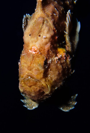 Longlure Frogfish, Bonaire Frogfish use a fleshy appendage on their snout to lure unsuspecting fish within striking range.