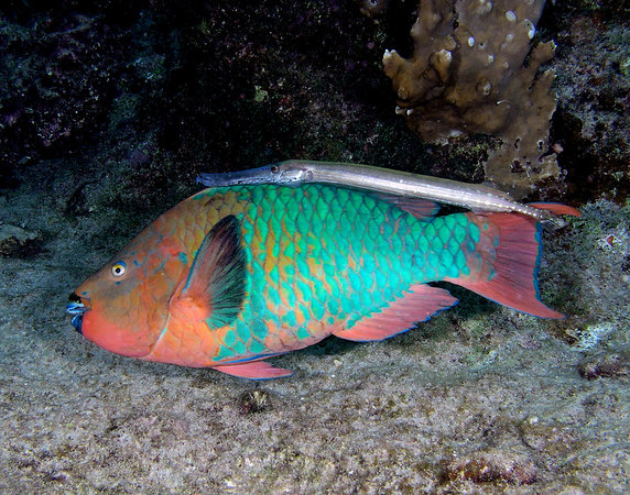 Rainbow Parrotfish with Trumpet Fishing<br /> Scarus guacamaia with Aulostomus maculatus