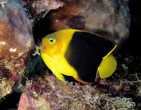 Rock Beauty Angelfish<br /> Holacanthus tricolor