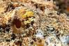 Spotted Scorpionfish <i>(Scorpaena plumieri)<i/> eye