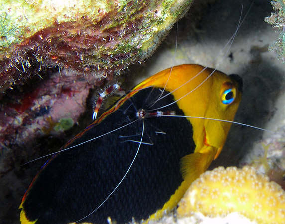 Rock Beauty being cleaned by a Coral Banded Cleaner Shrimp