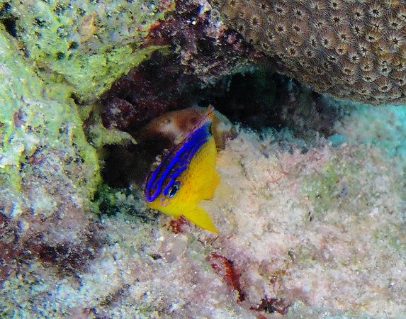 Juvenile Longfin Damselfish<br /> Stegastes diencaeus