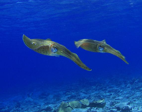 Caribean Reef Squid<br /> Sepioteuthis sepioidea