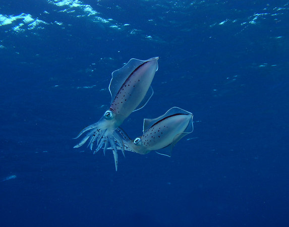 Caribbean Reef Squid Mating<br /> Sepioteuthiss sepioidea