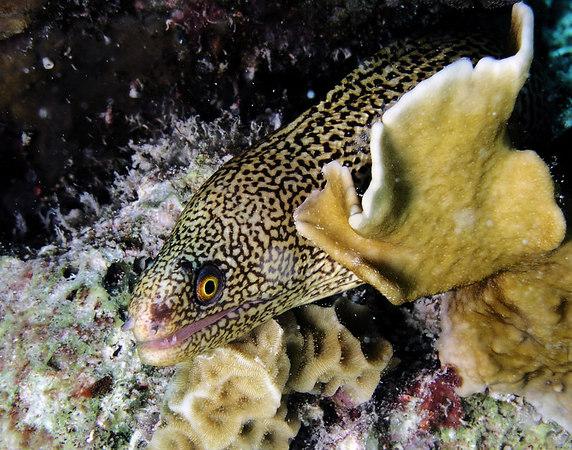Spotted Moray Eel - yellow version<br /> Gymnothorax moringa