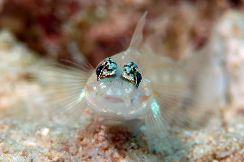 Peppermint Goby <i>(Coryphopterus lipernes)<i/>