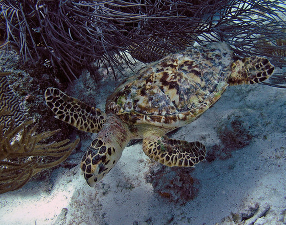 Juv. Hawksbill Turtle<br /> Eretmochelys imbriocota