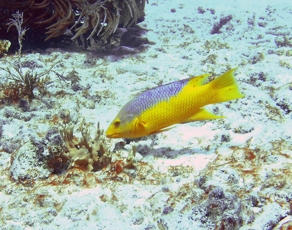 Spanish Hogfish<br /> Bodianus rufus