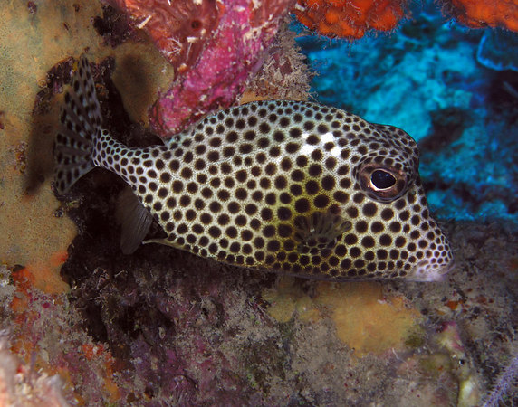 Spotted Trunkfish<br /> Lactophrys bicaudalis