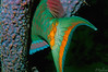 Stoplight Parrotfish <i>(Sparisoma viride)<i/> detail