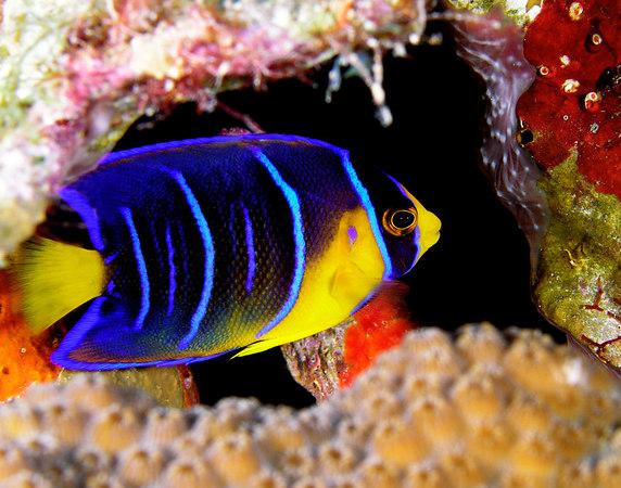 Juv. Blue Angelfish<br /> Holacanthus bermudensis
