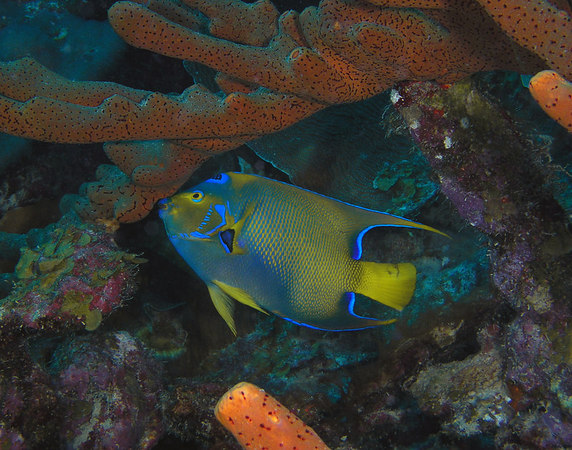 Queen Angelfish eating sponges