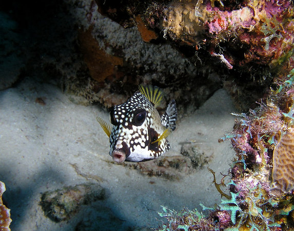 Smooth Trunkfish<br /> Lactophrys triqueter