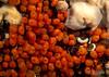 Orange Social Tunicate