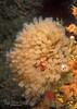 Light-Bulb Tunicate