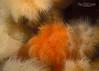 Short Plumose Anemone