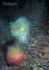 Lion's Mane Jellyfish w/Rose Anemone