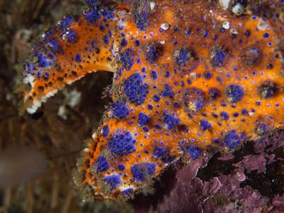 Puget Sound King Crab claw _EM50812