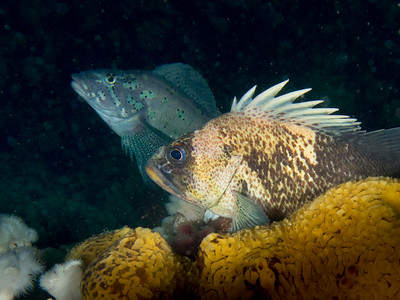 Quillback Rockfish and Kelp Greenling _EM50489