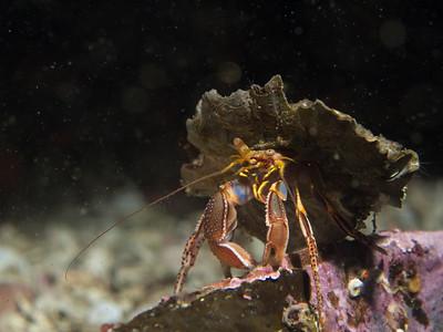Hermit Crab _EM50100