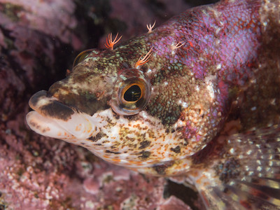 Painted Greenling _EM50799
