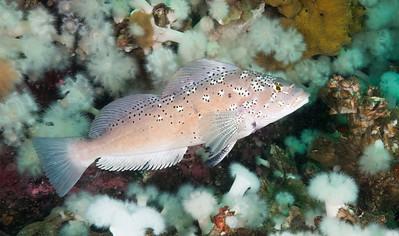 Kelp Greenling male_DSC1821