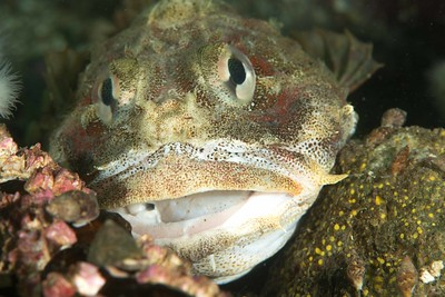 Red Irish Lord eating Ratfish 4_DSC2786