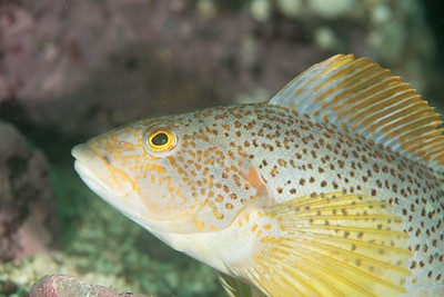 Kelp Greenling female_DSC2964