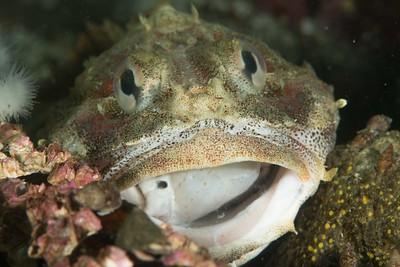 Red Irish Lord eating Ratfish 3_DSC2784