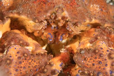 Puget Sound King Crab face detail_DSC2842