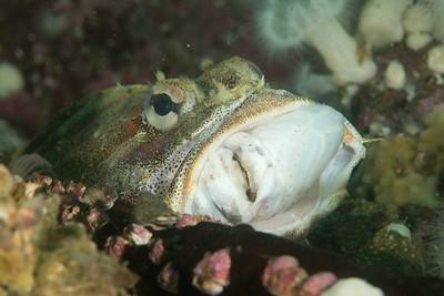 Red Irish Lord eating Ratfish 2_DSC2775