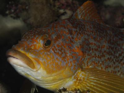 Kelp Greenling female_EM52514