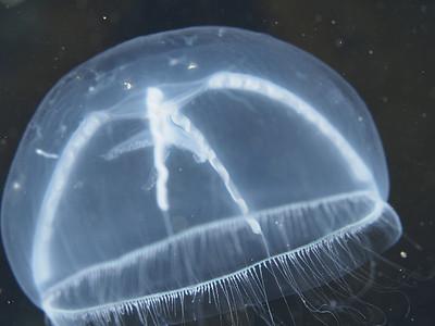 Jellyfish_EM52276