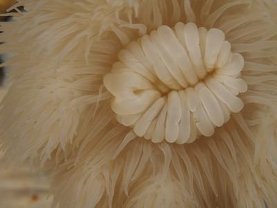Anemone detail_EM51510