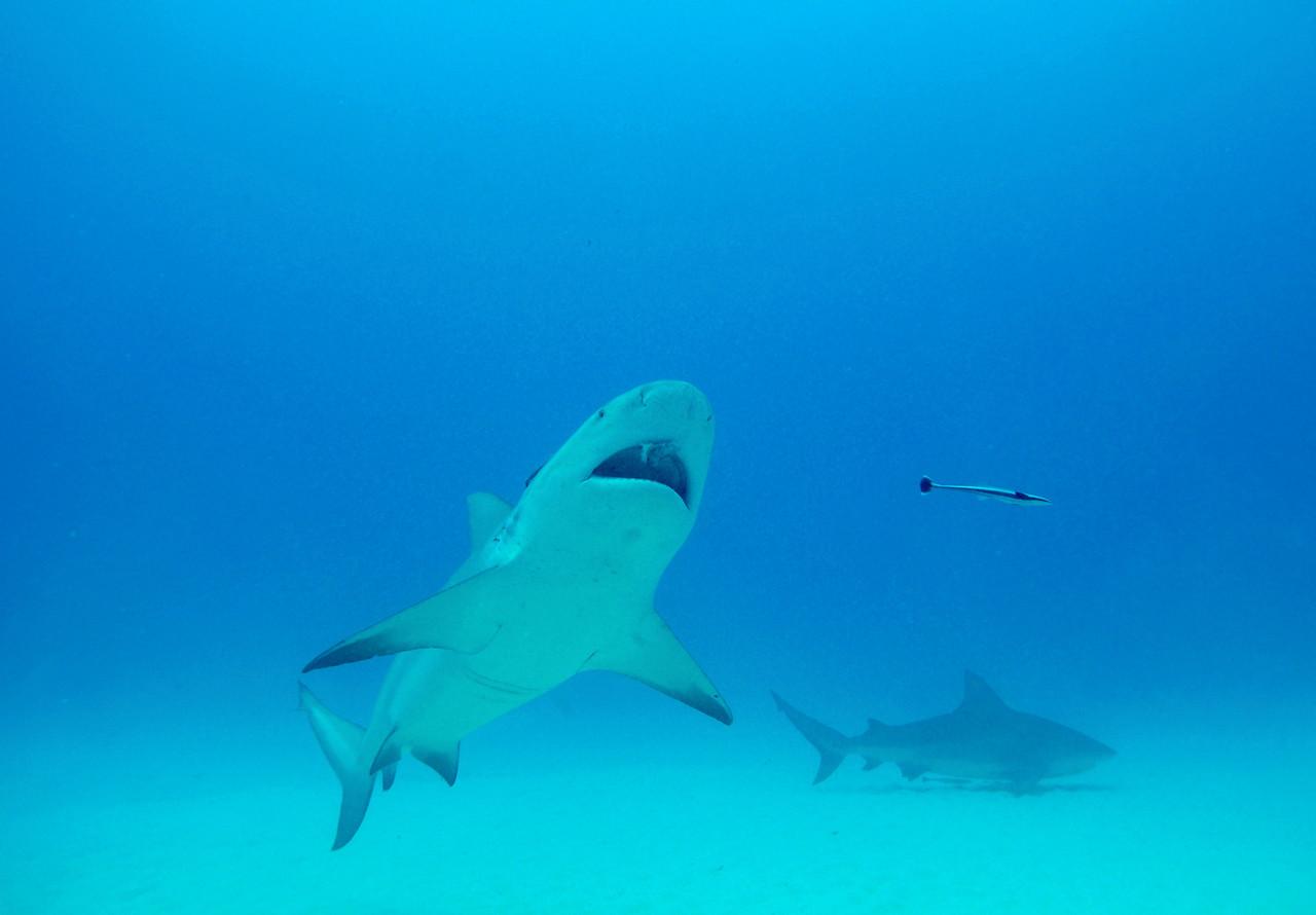Bull Shark eating some bait - November 2012