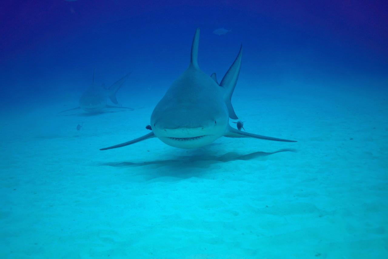 Approaching Bull Sharks - November 2012