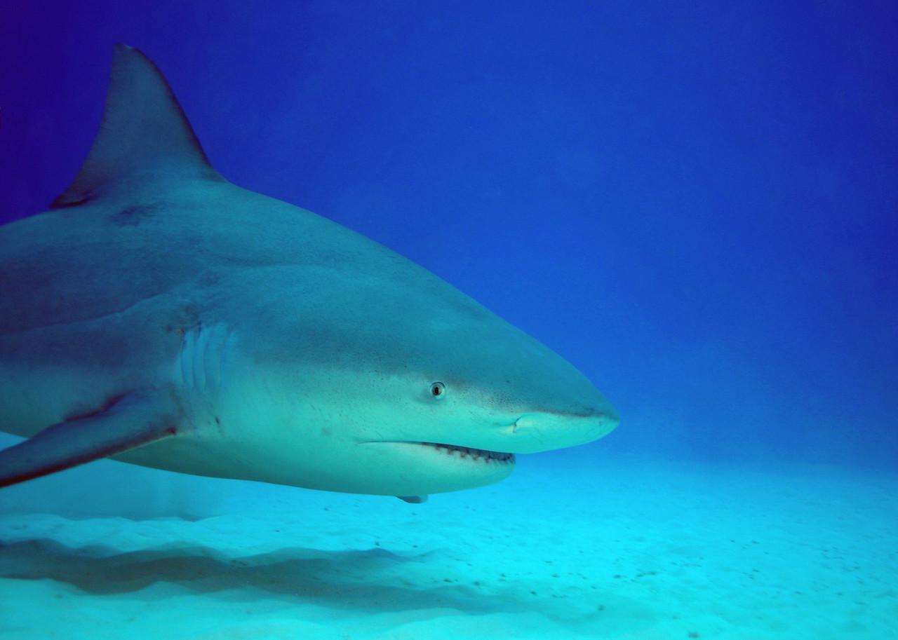 Bull Shark - November 2012