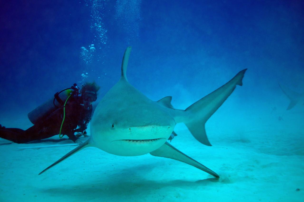 Bull Shark checking me out - November 2012