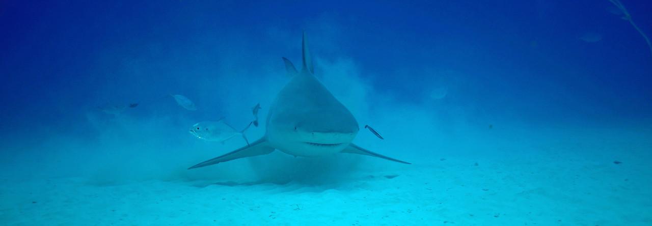 Approaching Bull Shark stirring up sandy bottom - November 2012