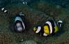 Clark's anemonefish.