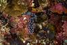 Nudibranch. Phyllidia pustulosa?