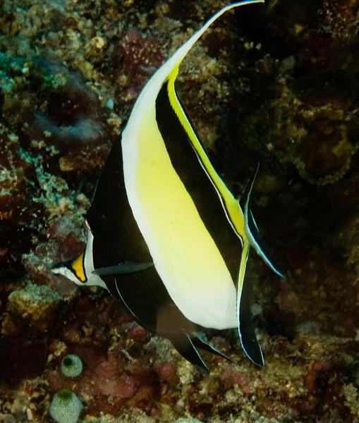 Bannerfish.