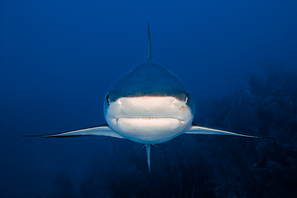 East End Grand Cayman, Grey Tip Reef Shark, Jack McKenney's Canyon