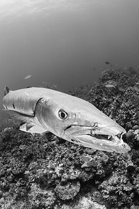 Great barracuda, Little Cayman, Mixing Bowl