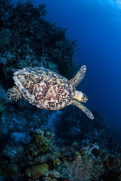 hawksbill turtle, Little Cayman, Mixing Bowl